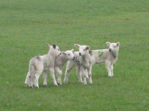 Week 1- Lambs