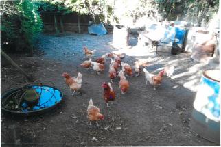Week 7 - Jamie's Hens