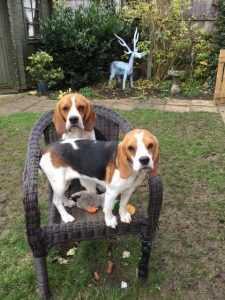 Week 10 - Mrs Fox's Beagle puppies